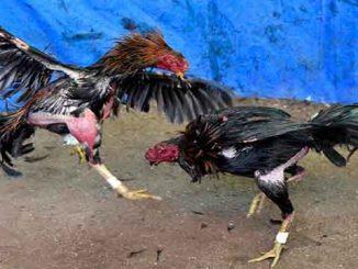 Daftar Judi Ayam Online Terpercaya