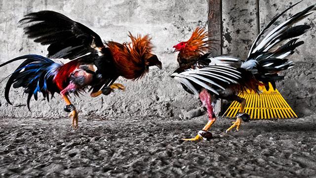 Judi Online Sabung Ayam